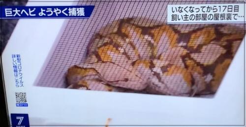 ニシキヘビ捕獲