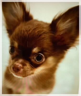 船越英一郎の愛犬レオの画像